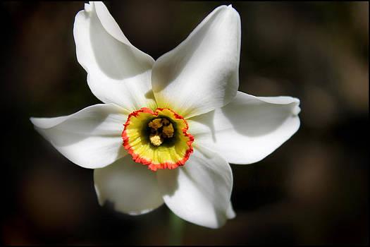 Narcissus I by Aya Murrells