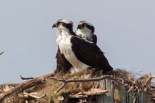 Nesting Ospreys by Laurel Butkins