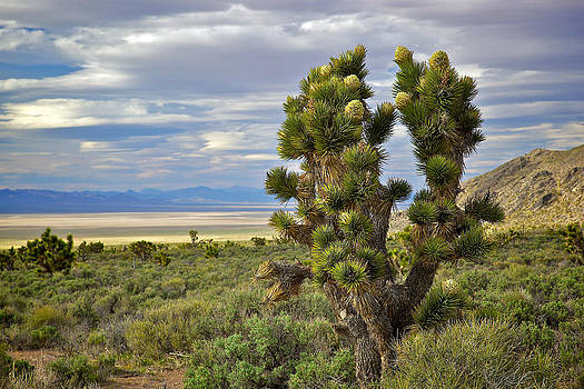 Nevada Joshua Tree by Joe Urbz