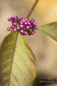 Anne Gilbert - New Berries