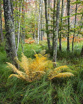 New England Ferns and Forest - Early Fall Acadia National Park by Bill Swindaman