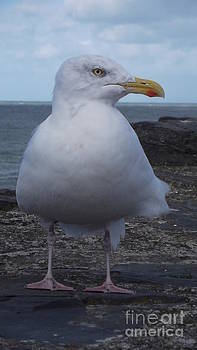 New Quay Gull  by John Williams