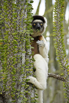 Michele Burgess - Nibbling Sifaka