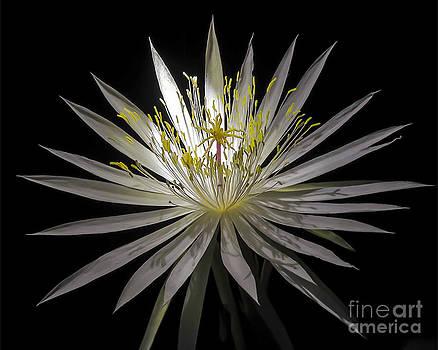 Night-Blooming Cereus 1 by Gerald Grow