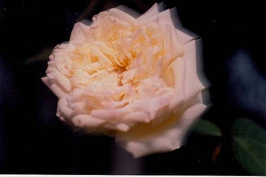 Night Blooming Rose by Howard Dratch