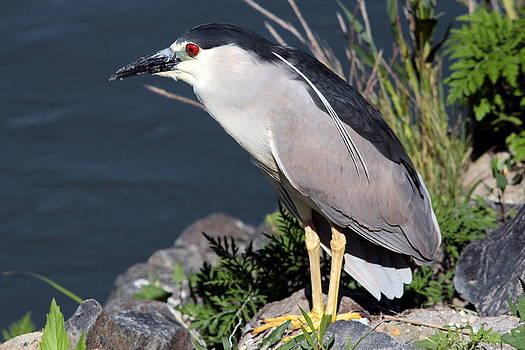 Night Heron Bird by Diane Rada