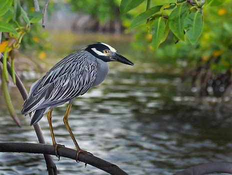 Night Heron Yellow Crown by Kerry Hauser