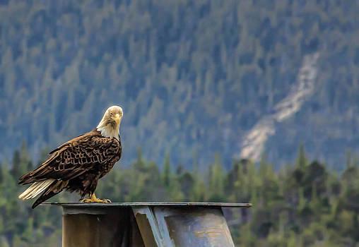 North American Bald Eagle by Timothy Latta