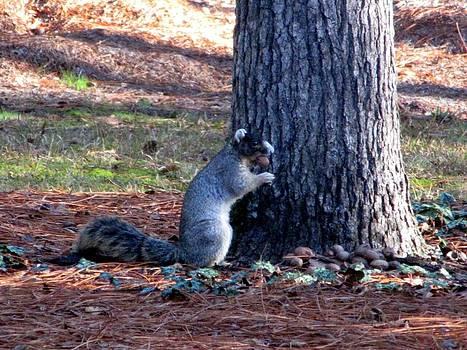 North Carolina Fox Squirrel by Making Memories Photography LLC