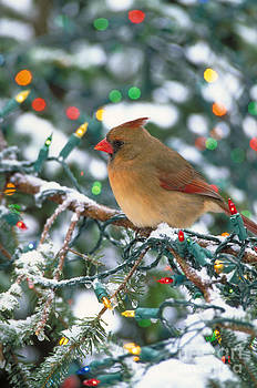 Steve Maslowski - Northern Cardinal And Christmas Lights
