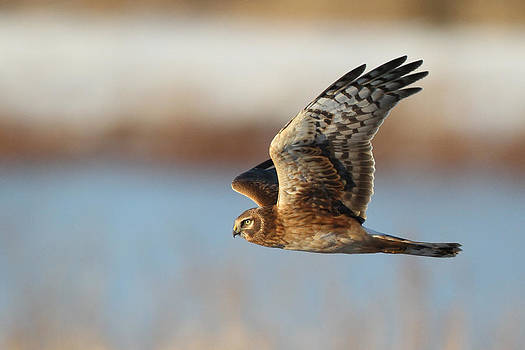 Northern Harrier by Michael Rucci