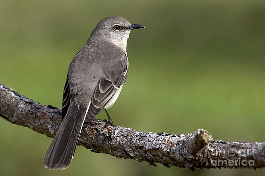 Northern Mockingbird Photo by Meg Rousher