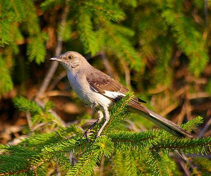 Northern Mockingbird  by Sean Murray