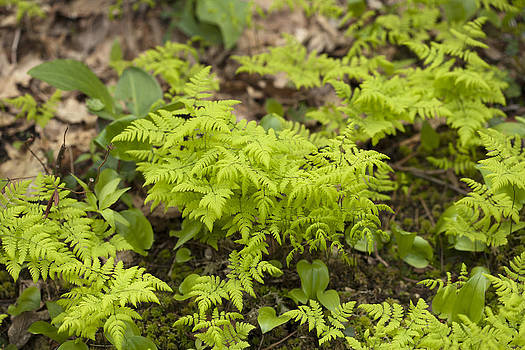 Northern Oak Fern by Science Stock Photography