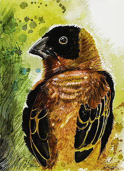 Northern Red Bishop by Sydney Gregory