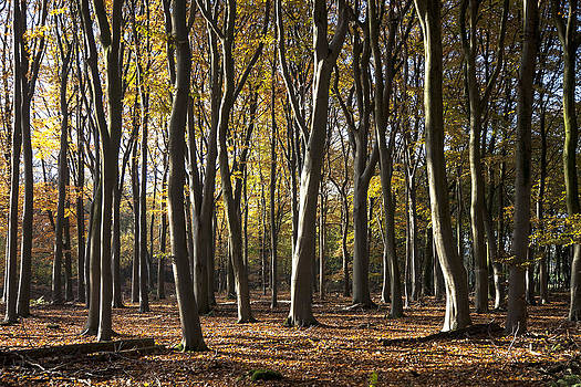 November beeches by Frits Selier