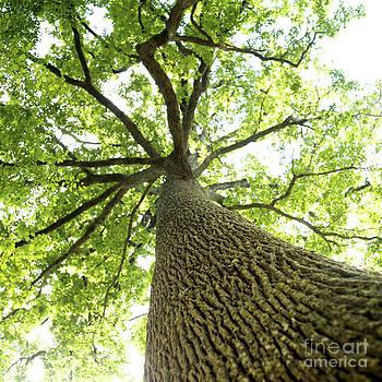 BERNARD JAUBERT - Oak