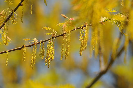 Oak Catkins by Dick Todd