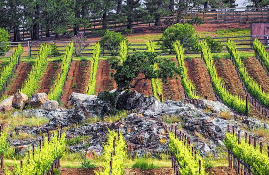 Oak in Vineyard by L J Oakes