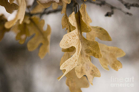 Oak leaves in the snow by Cynthia Holling-Morris