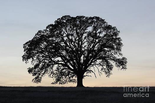 Oak Tree by Dan Julien