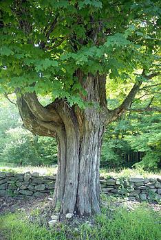 Oak Tree by Donna Desrosiers