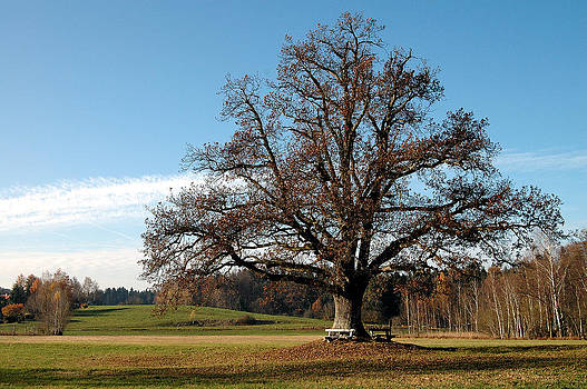 Oak tree with benches by Angela Kail