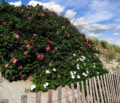 Kate Gallagher - Ocean Roses In The Sand Dunes