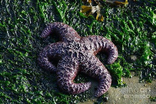 Ochre Sea Star by Gayle Swigart