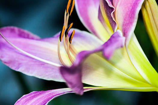Oh Lily by Roxanna Coeling