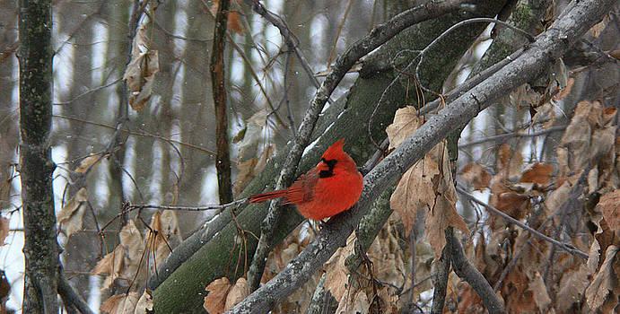 Ohio's cardinal by Karl Gebhardt