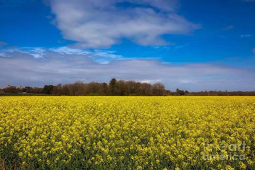 English Landscapes - Oil Rapeseed Field