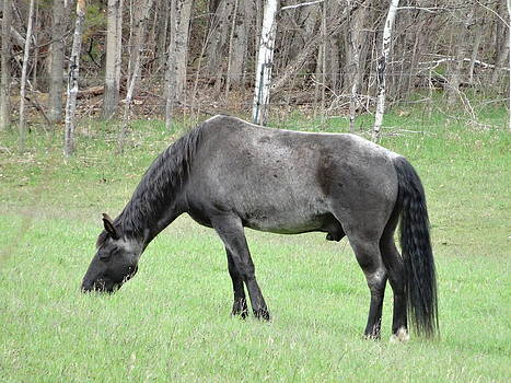 Old Gray Stallion by Kathleen Luther