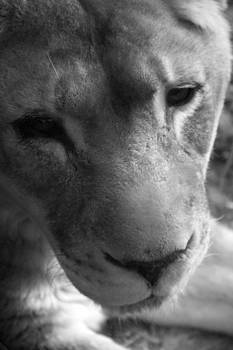 Old Lioness by Danielle Gareau