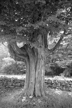 Old Oak by Donna Desrosiers