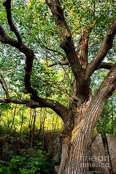 Old Oak Tree by Deanna Wright