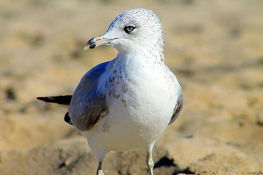 Old Orchard Seagull  by Lindsey Henderson
