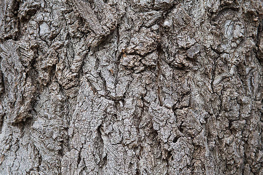 James BO  Insogna - Old Tree Trunk Bark Texture