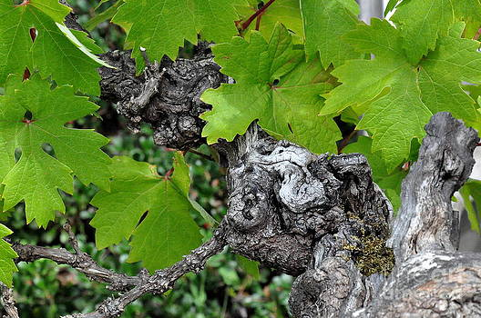 Old Zinfandel Grape Vine by Tanya  Searcy