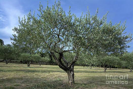 BERNARD JAUBERT - Olive tree