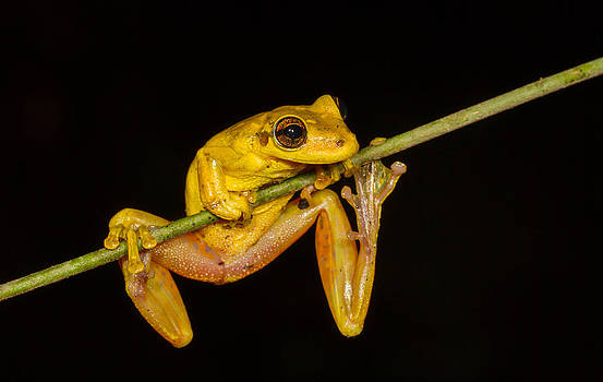 Olive Tree Frog by JP Lawrence
