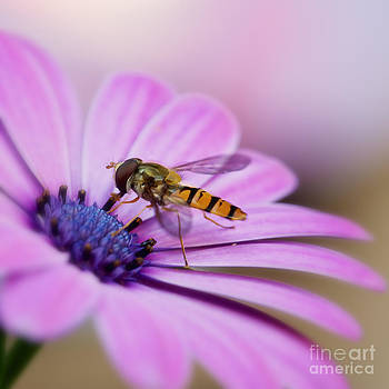 LHJB Photography - On a daisy