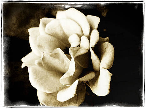 One Fragile Rose by Tanya Jacobson-Smith