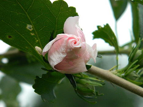 Opening bloom by Linda Brown