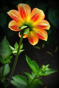 Orange and Yellow Dahlia by Virginia Cortland