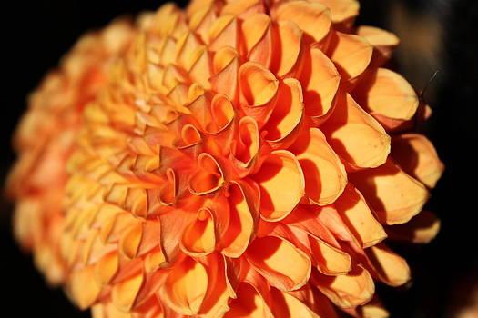 Orange Dahlia by Keeza Starr