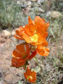 Orange Desert Flower by Sherry Vance