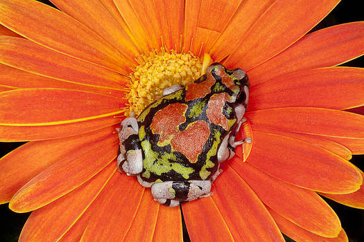 Orange Frog by Indiana Zuckerman