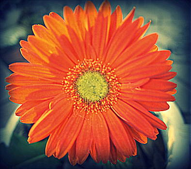 Laurie Perry - Orange Gerbera