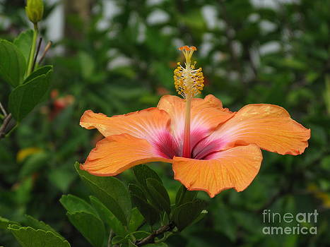 Orange Hibiscus Blossom by Ausra Huntington nee Paulauskaite